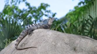 manp-iguana