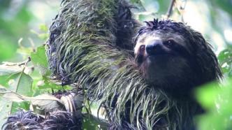 manp-sloth