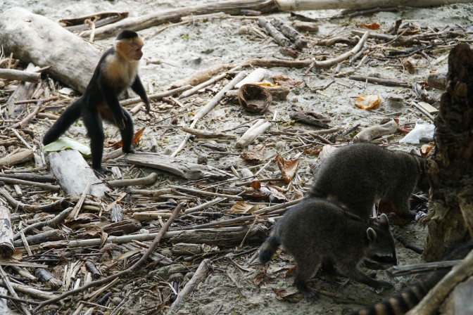 manuel-antonio-raccoons-and-monkey