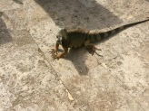 resident iguana who sunbathes by the pool