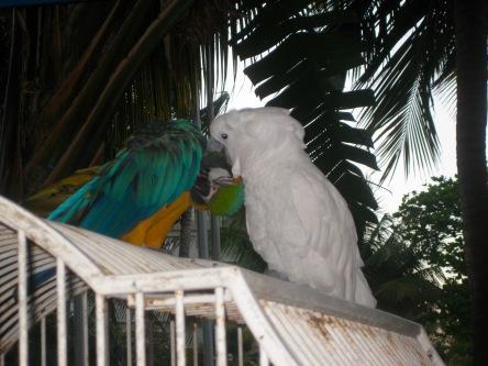 caribe-parrots
