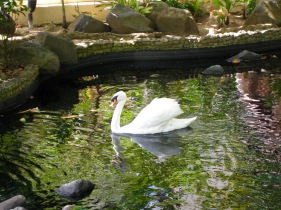 graceful swan on the koi pond