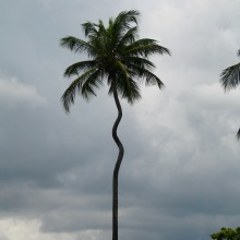 casa-bacardi-palm-tree