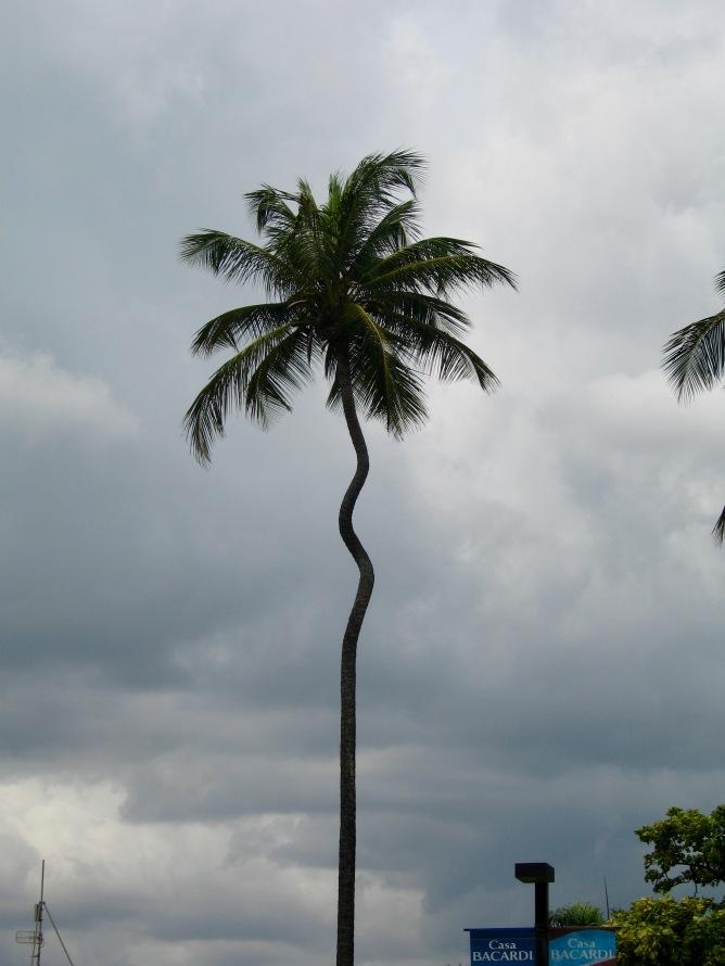 casa-bacardi-palm-tree