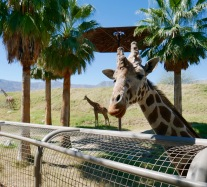 living desert giraffe says hello 1 travelnerdplans