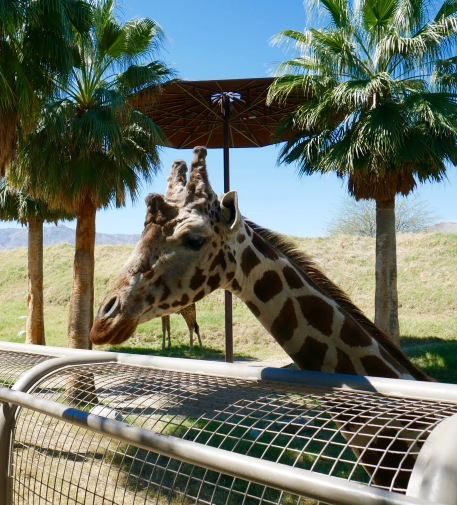 living desert giraffe says hello travelnerdplans