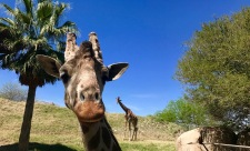 living desert giraffes say hello travelnerdplans