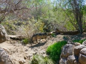 Mexican wolves