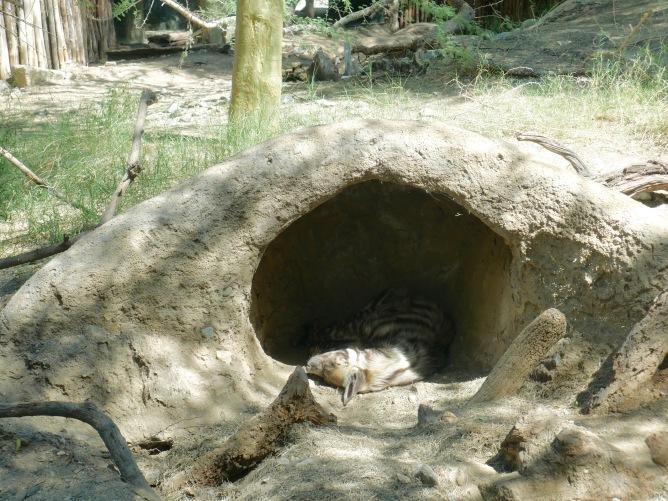 snoozing hyena
