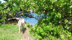 st kitts donkey travelnerdplans