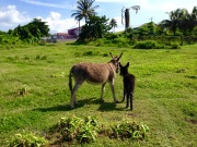 st kitts donkeys travelnerdplans