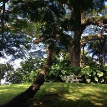 amazing 350 year old saman tree