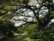 st kitts romney manor tree travelnerdplans