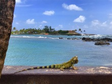 caribe iguana
