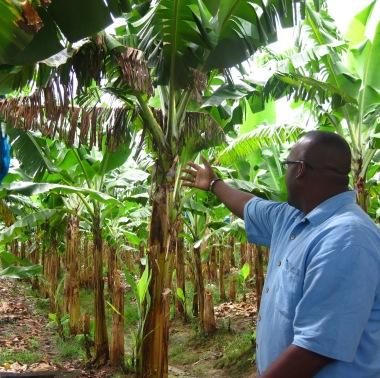 st lucia banana plantation with jean baptiste
