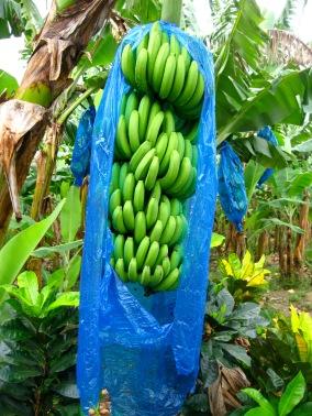 st lucia bananas 2