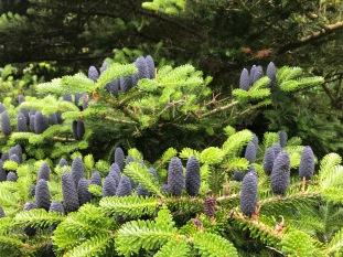 dunvegan garden korean pine